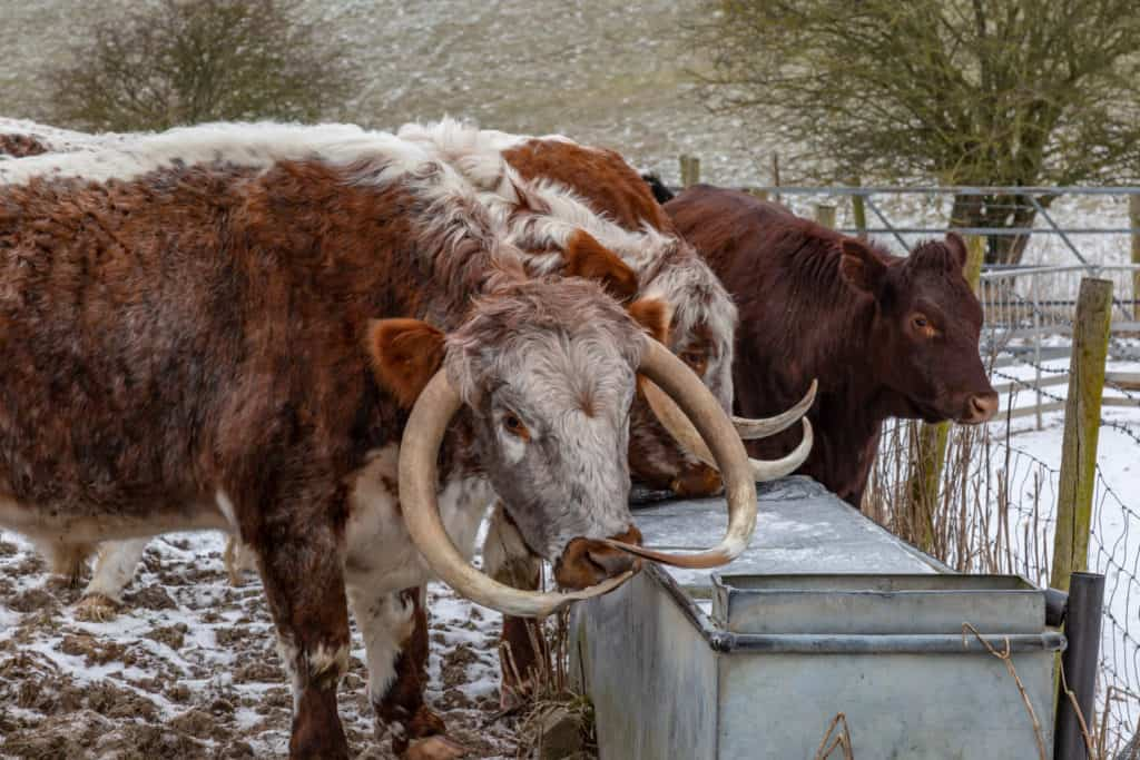 Cows at a frozen water trough